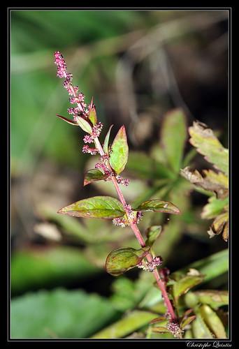 Persicaire (Polygonum persicaria)