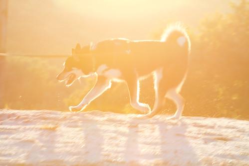 sunset dog pet sun sunshine animal puppy fun happy warm warmth naturallight sunny doggy pup sunshiny sooc