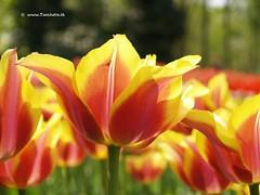 Dutch Tulip,  Keukenhof Gardens, Holland - 0668