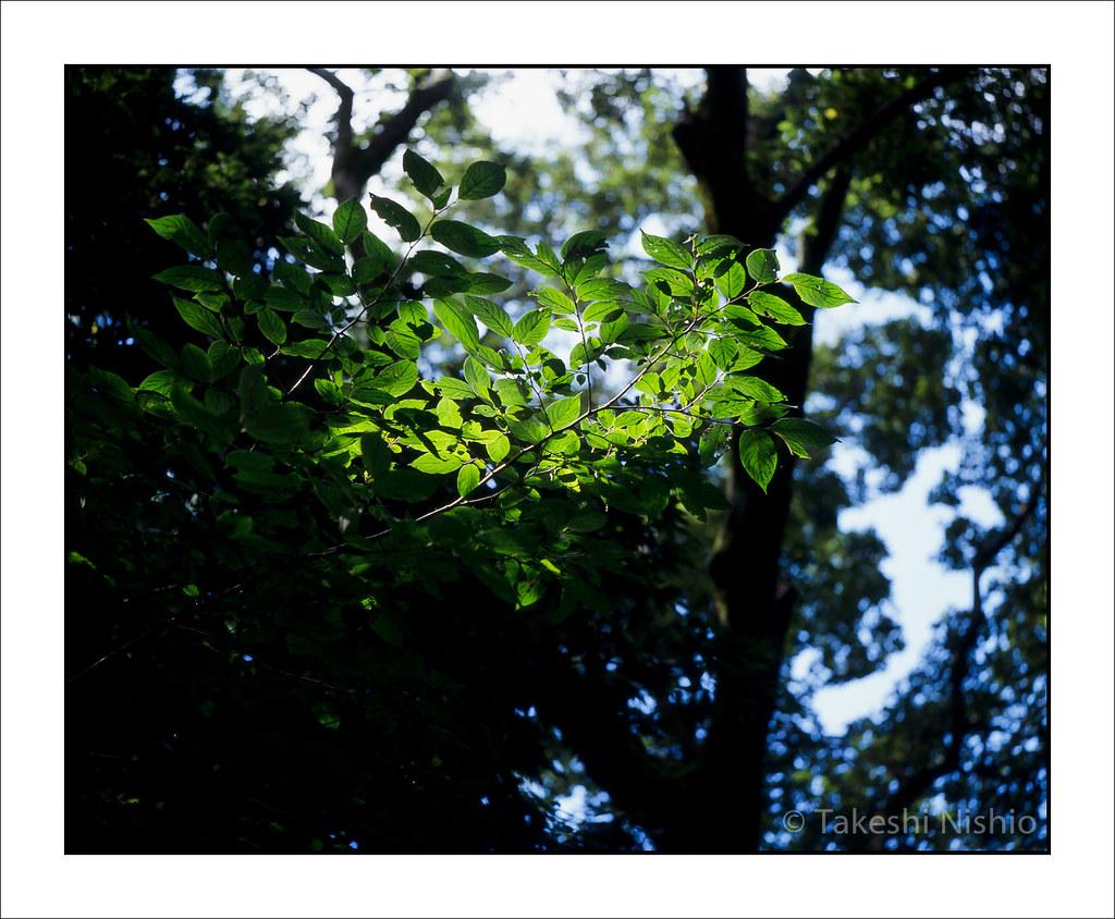 森の中の輝く枝 / Brilliant Leaves