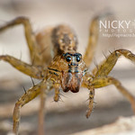 Wolf Spider (Lycosidae) - DSC_9270