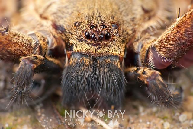 Huntsman Spider (Sparassidae) - DSC_8950