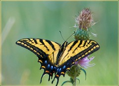 Two-tailed swallowtail butterfly photography by Ron Birrell; DSC_5000