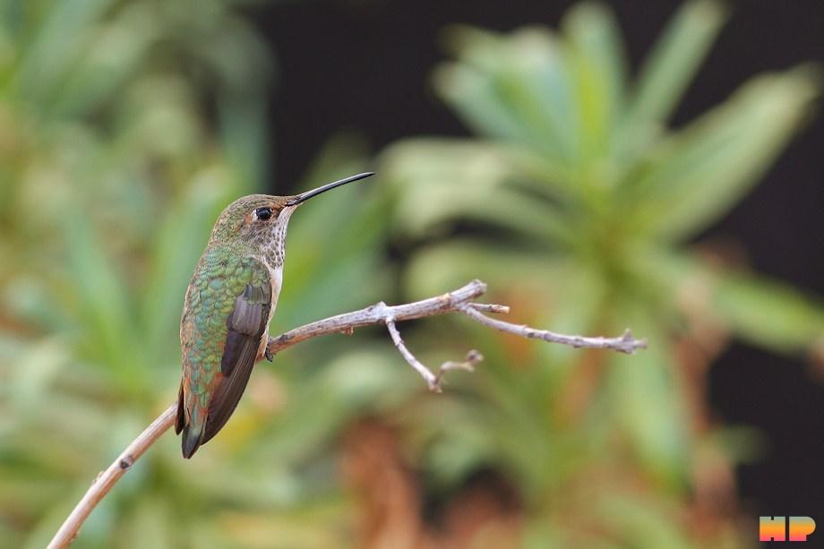 Allen's Hummingbird 101112-7