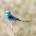 Small photo of Abyssinian Roller (Coracias abyssinicus)