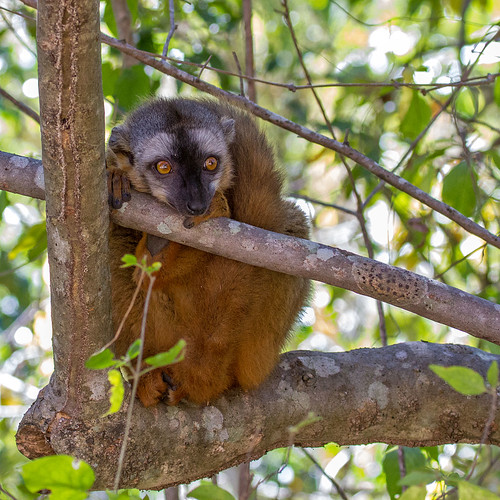 Red-fronted lemur (Eulemur rufifrons)