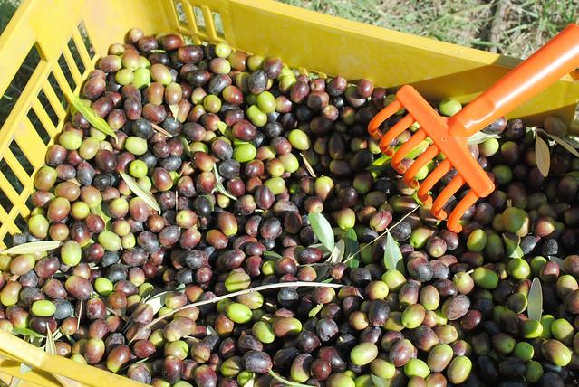 olive picking 4