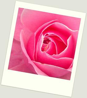 Rose - Yakurai Garden