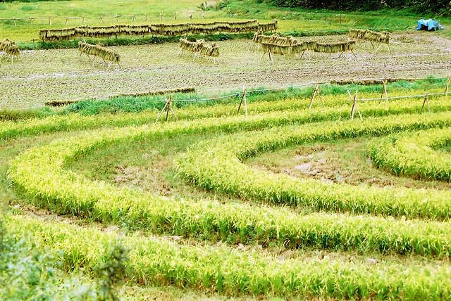 2011稲刈り風景