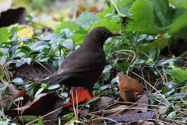 Female Blackbird, Robert's Park