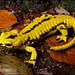 Salamandra salamandra terrestris by Matthijs Hollanders
