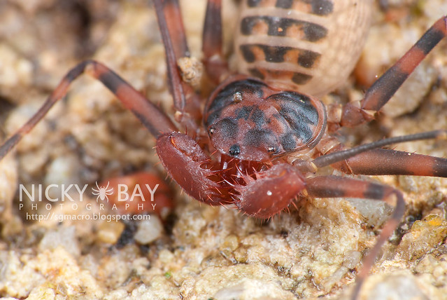 Tailless Whip Scorpion (Amblypygi) - DSC_4690