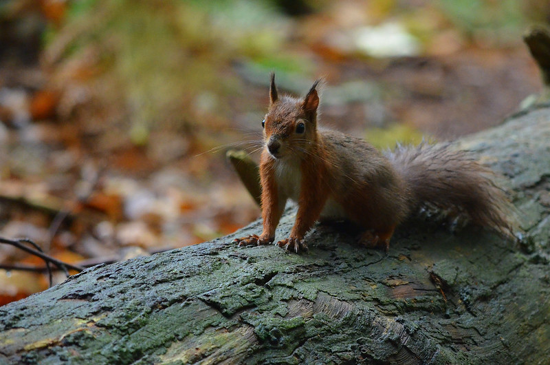 Brownsea Island Red Squirrel