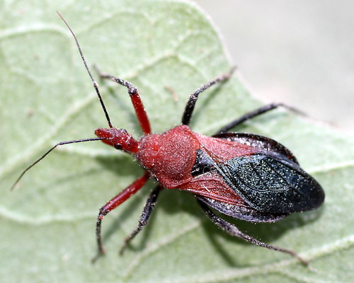 assasin bug- adult by ~skd~