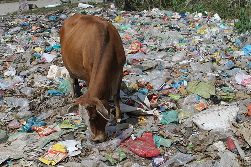 Cow eating rubbish