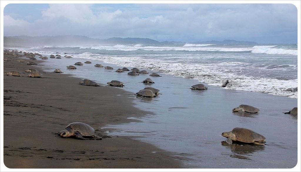 Ostional turtle arribada in october 2012