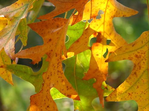 Southern Pin Oak