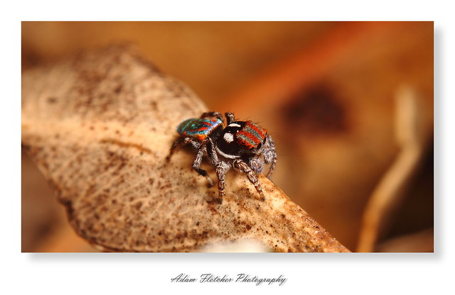 Peacock jumping spiders - photo#27