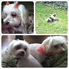 All4 of the pups were groomed today- white #pups are freezing & Ollie is working hard at getting dirty again! #mustlovedogs #dogs