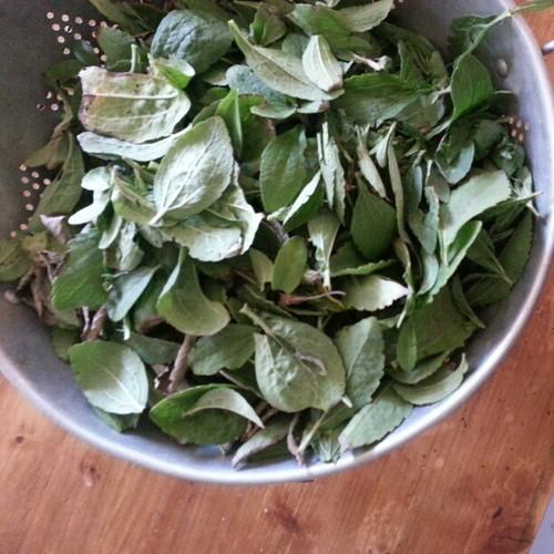 Stevia harvest #nofilter #homesteading #gardening