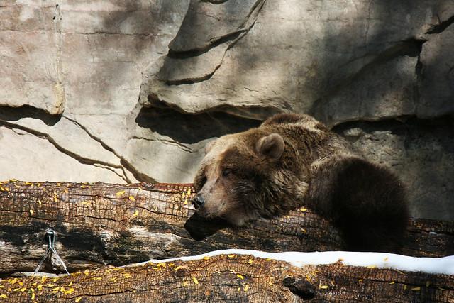 Bear at the Denver Zoo