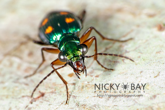 Ground Beetle (Carabidae) - DSC_9405