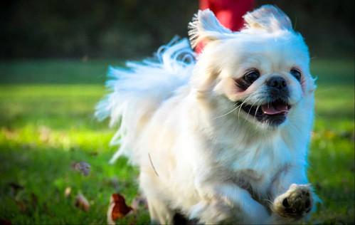Soaring to the finish line! Pekingese Puppy