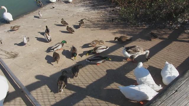 MVI_2347 LLC mute swan mallard gull geese blackbird feeding