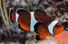 animal, anemone fish, fish, coral reef fish, organism, marine biology, macro photography, fauna, close-up,