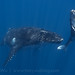 Humpback Whale Mother and Calf | Megaptera novaeangliae | Vava'u, Tonga