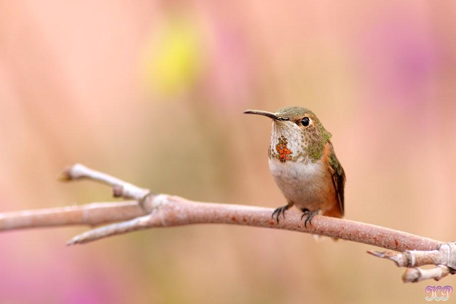 Allen's Hummingbird 010613-5