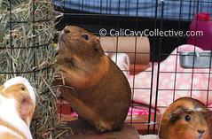 Guinea pig Belka eating hay