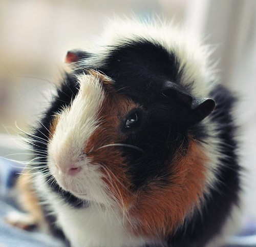 my guinea pig Lucky :) by Pia_C