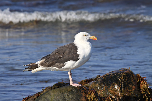 Great Black-backed Gull on Long Island in August 2009.