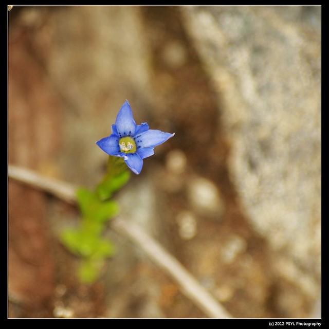 Moss Gentian (Gentiana fremontii)