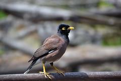 animal(1.0), nature(1.0), fauna(1.0), acridotheres(1.0), beak(1.0), bird(1.0), wildlife(1.0),