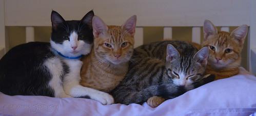 cats cat kitten feline texas tx kitty dsh mineola domesticshorthair apet sweettimes4