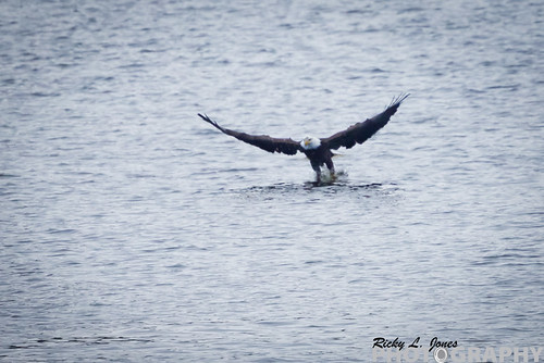 Eagle in Action by Ricky L. Jones Photography