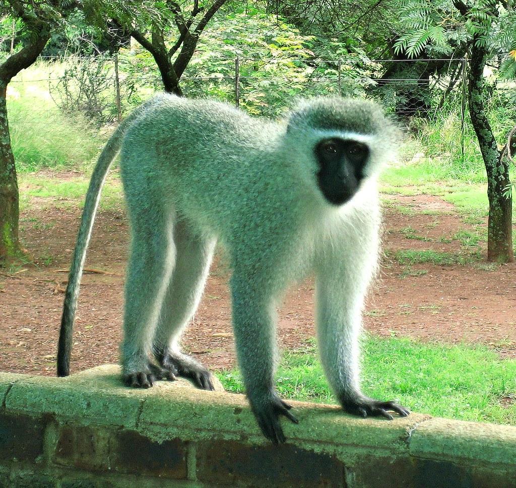 Vervet Monkey 4 LEGS