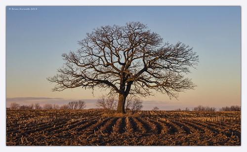 blue brown croprows cultivation farm field oaktree rows sigma1850f28 sky soil trees winter wisconsin stubble symmetry oshkoshwisconsin landscape tree quercusmacrocarpa fagaceae buroak burroak