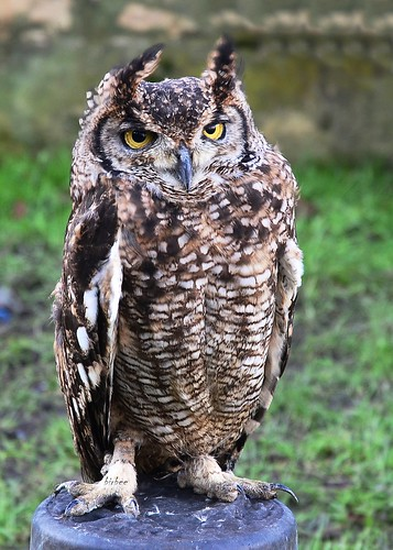 Eagle Owl 1 by birbee