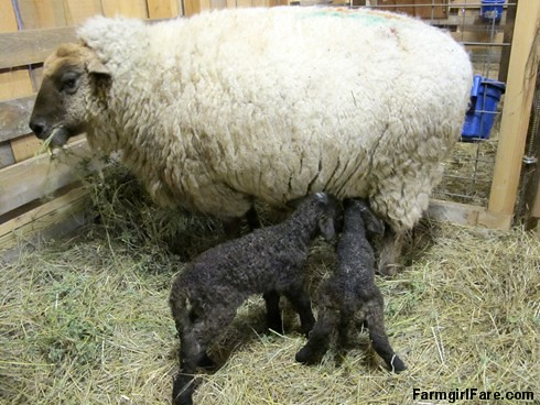 Lambing season begins with Eugenie and twins (1) - FarmgirlFare.com