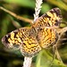 pearl crescent by Rebecca Wolff