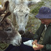 Small photo of Donkeys help Nance James peel an apple, Aran