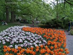 Dutch Tulips, Keukenhof Gardens, Holland - 0763