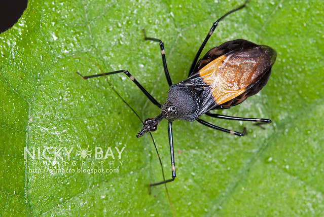 Assassin Bug (Reduviidae) - DSC_1343