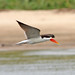 Small photo of African Skimmer (Rynchops flavirostris)