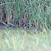 Small photo of African Rail (Rallus caerulescens)