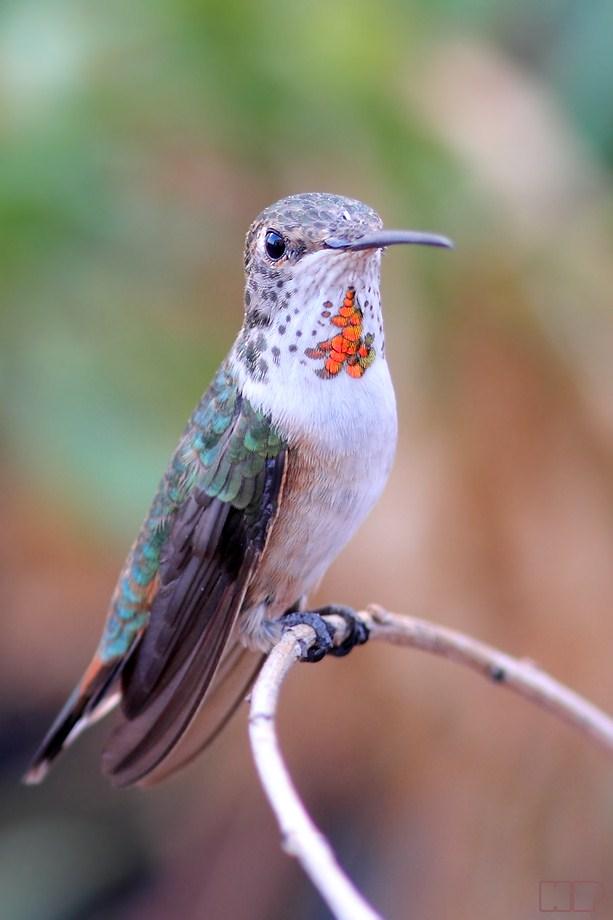 Allen's Hummingbird 101112-3
