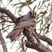 Small photo of Australian Owlet-nightjar (Aegotheles cristatus)